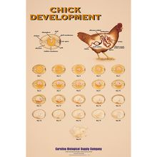 Chick Development Chart