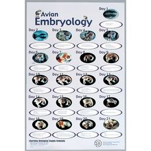 Avian Embryology Chart