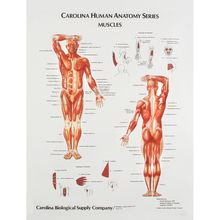 Muscles, Giant Carolina™ Human Anatomy Series Chart