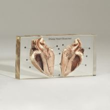 Sheep Heart, Bisected, Plastomount