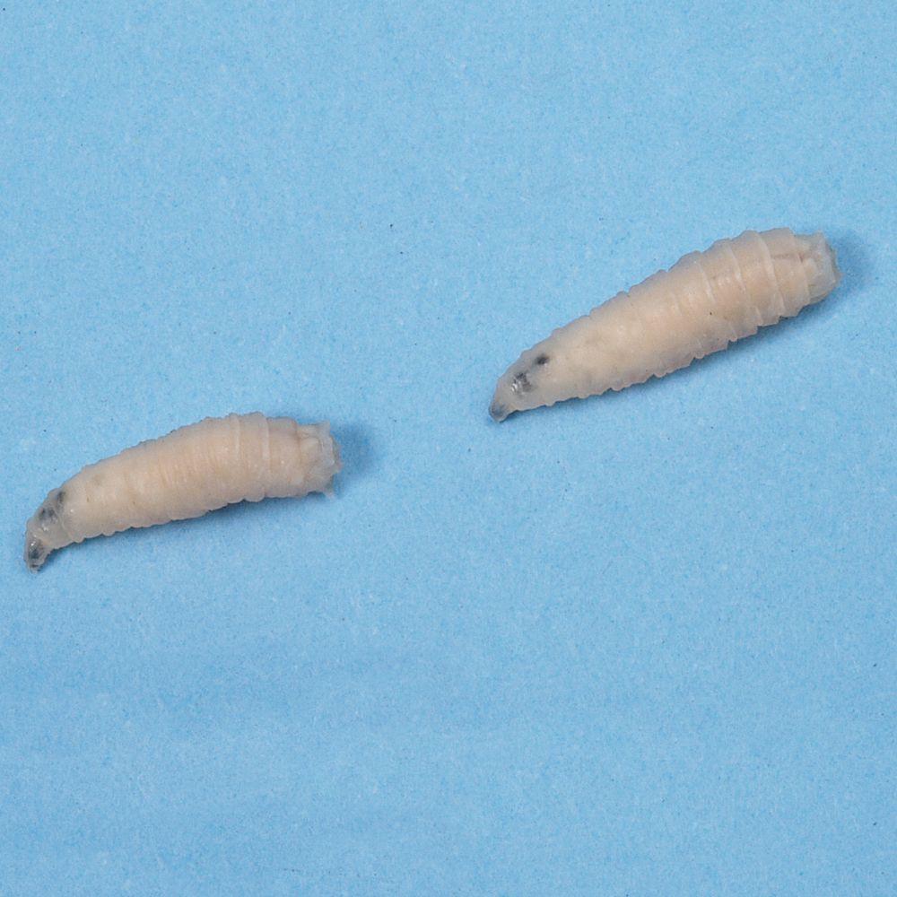 sarcophaga larvae sarcophaga bullata living unit 100