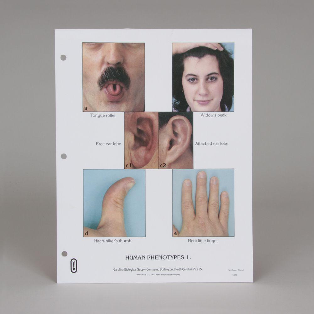 Human Phenotypes Biophoto® Sheets | Carolina.com