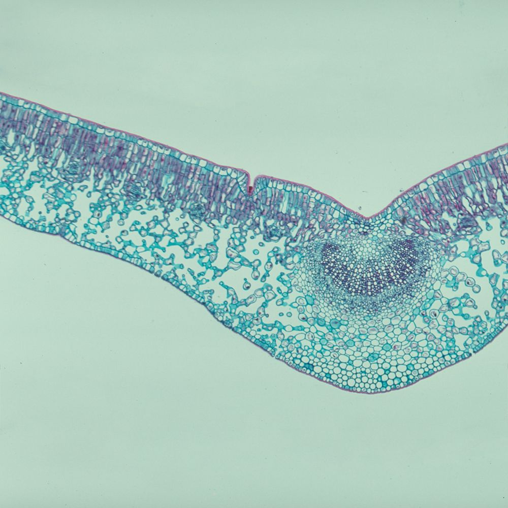 plant cell microscope slides