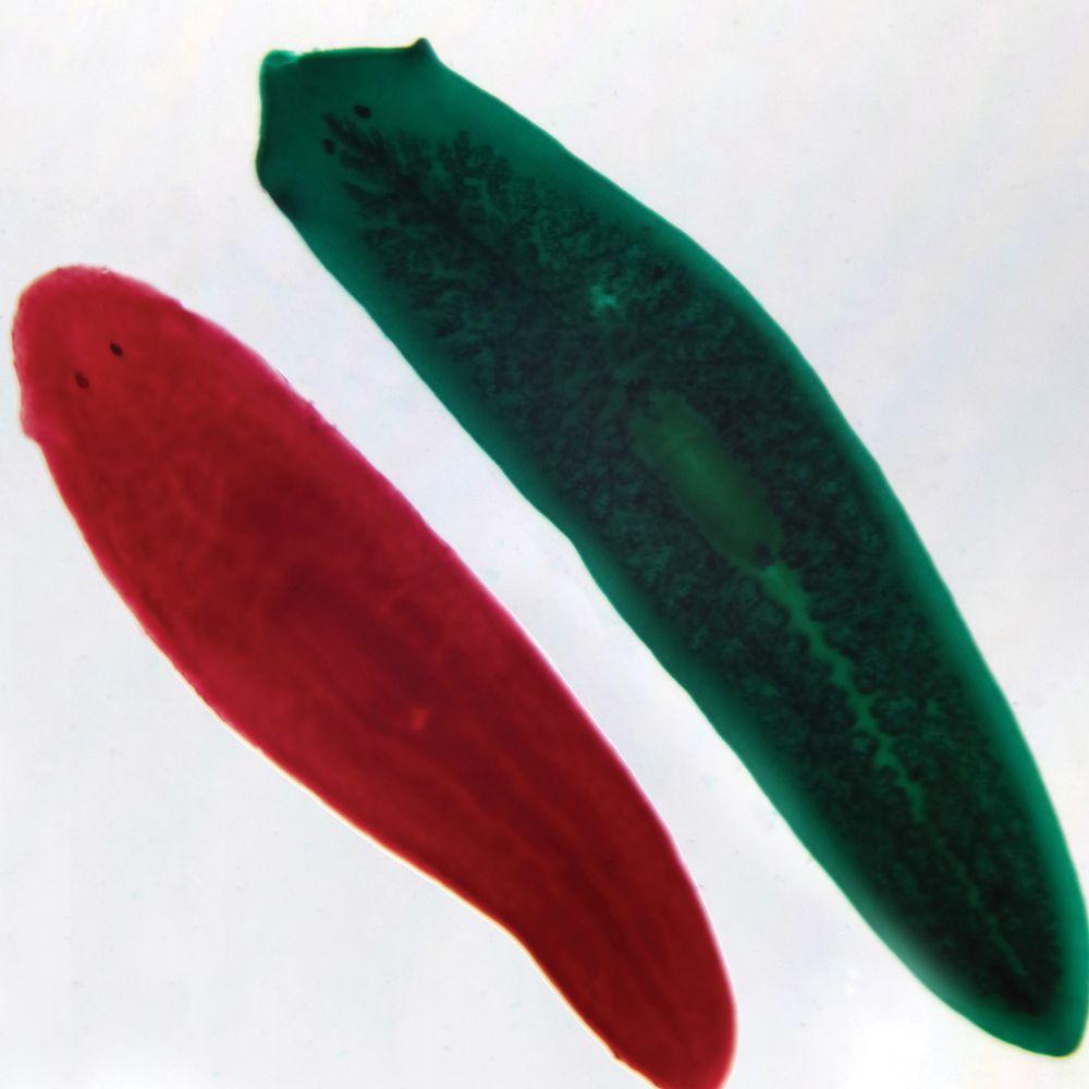 Planaria slide