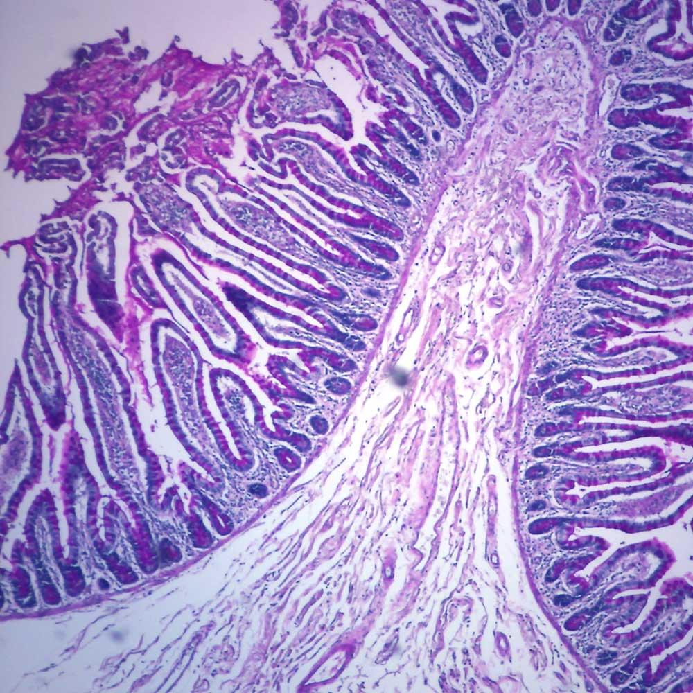 human goblet cells sec 7 181m hampe microscope slide