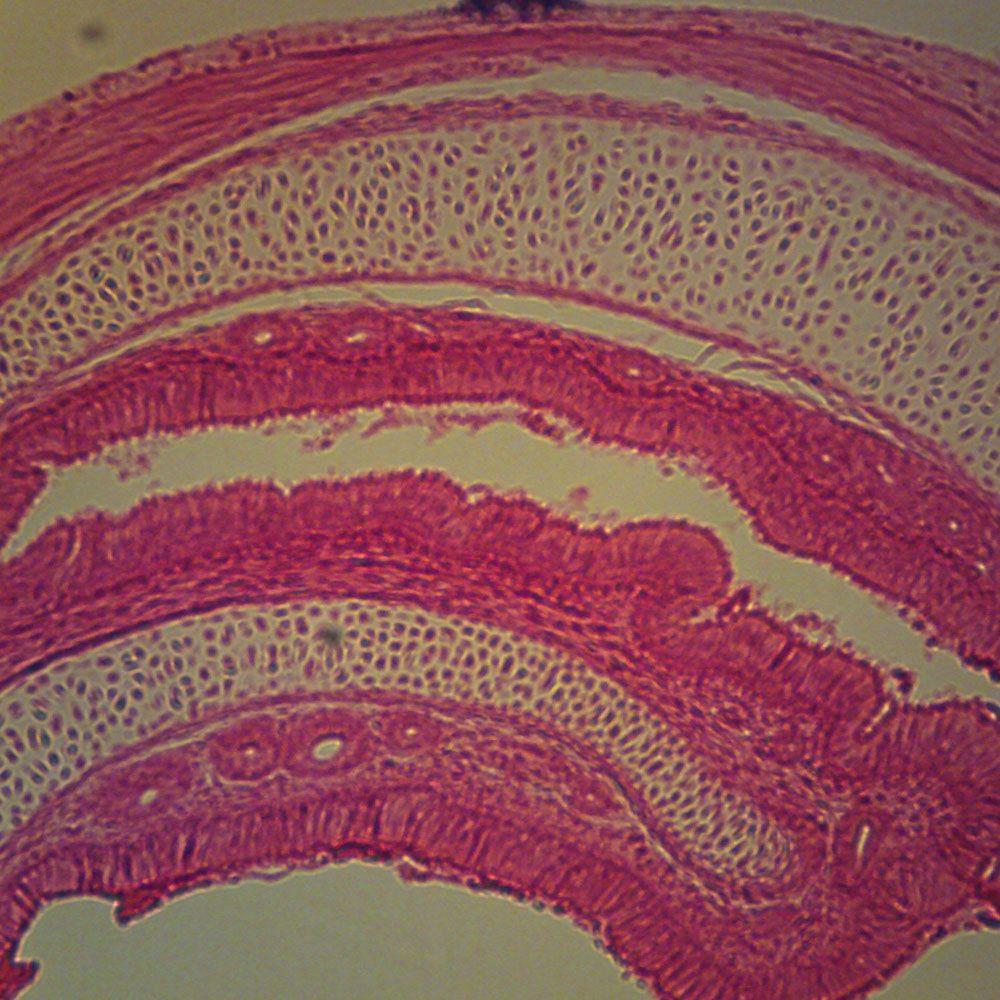 Mammal Trachea Microsc...