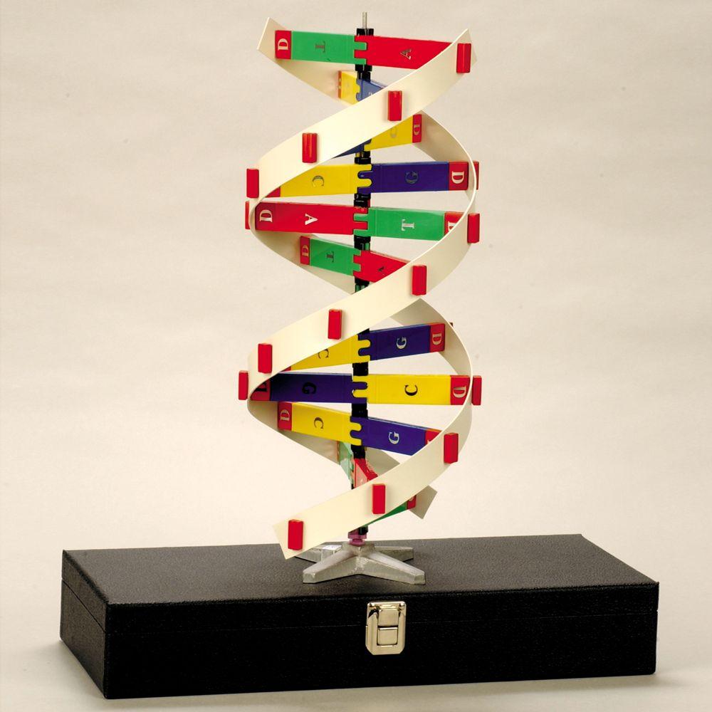 Staco DNA Molecule Model Set