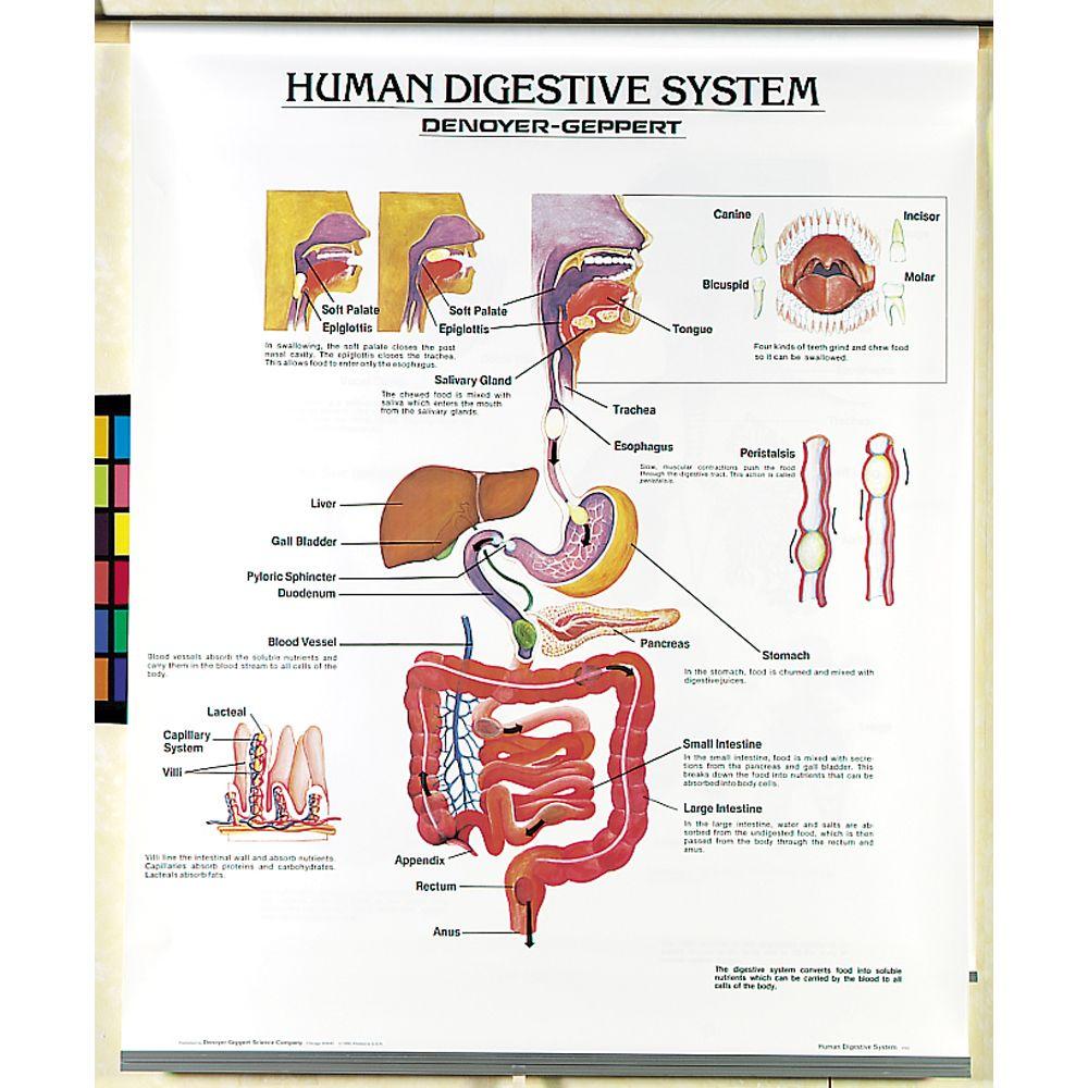 human body systems chart set