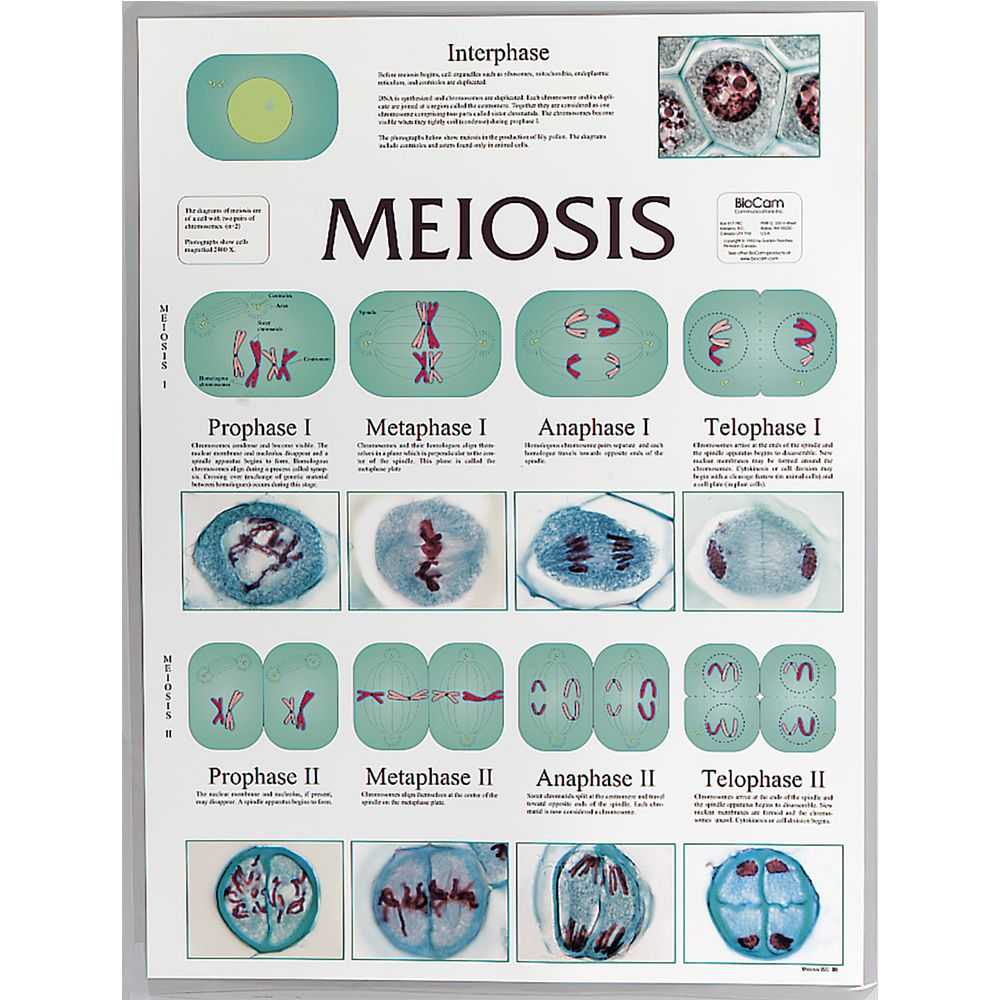 meiosis lesson plans middle school mitosis activities
