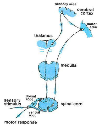 Sensorimotor pathway
