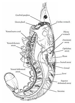 crayfish internal anatomy%28sm%29 crayfish dissection diagram wiring diagram for car engine on crayfish dissection worksheet