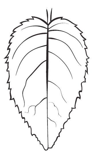 Aster Leaf