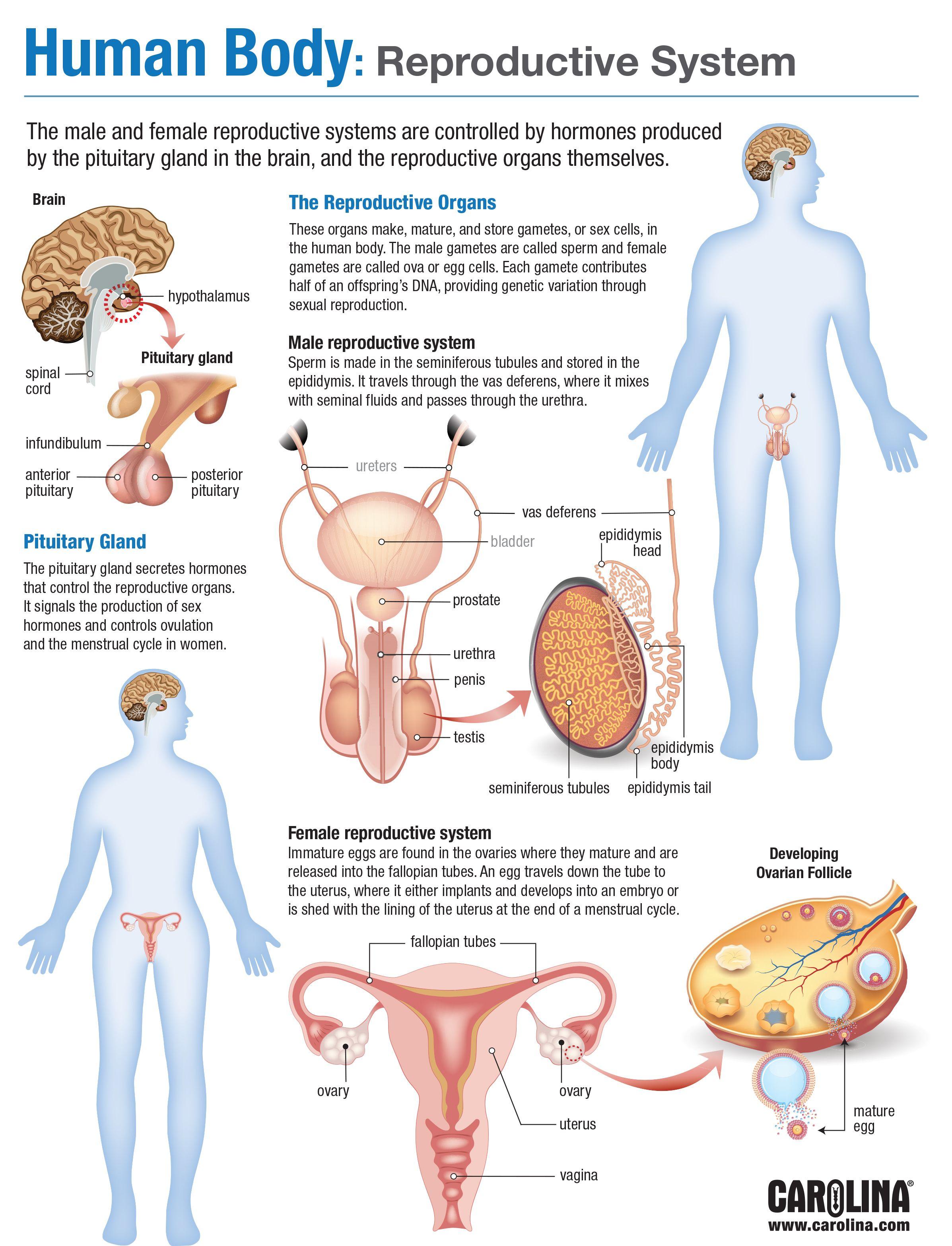 human body: reproductive system | carolina, Muscles