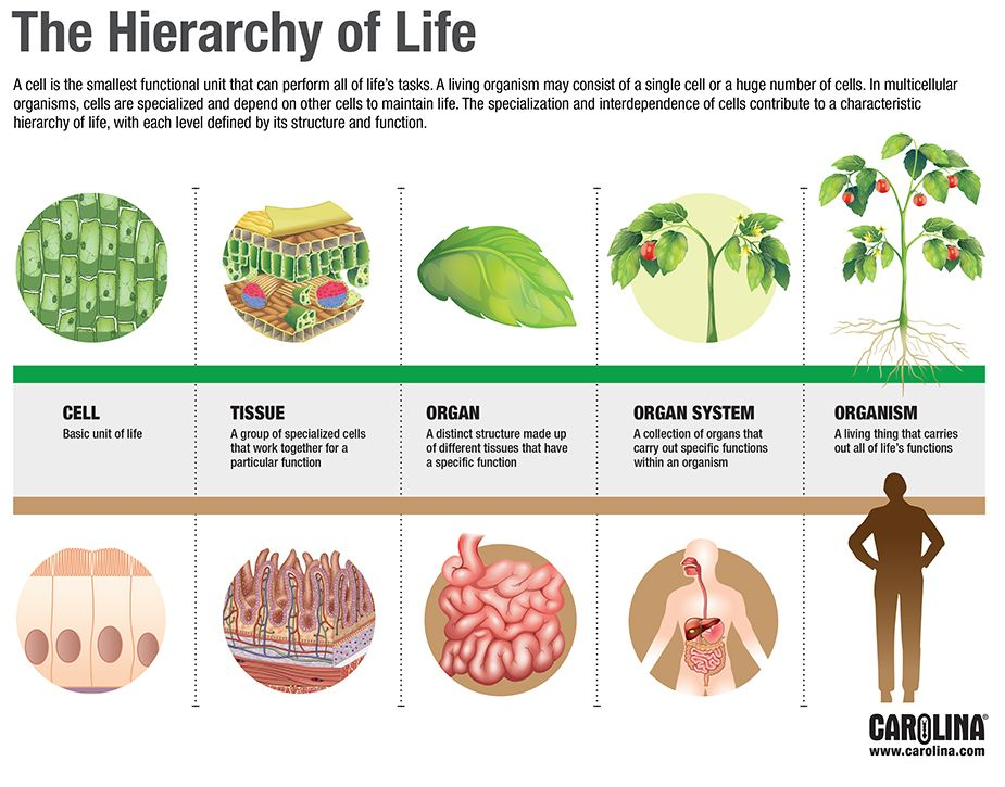 Infographic: The Hierarchy of Life