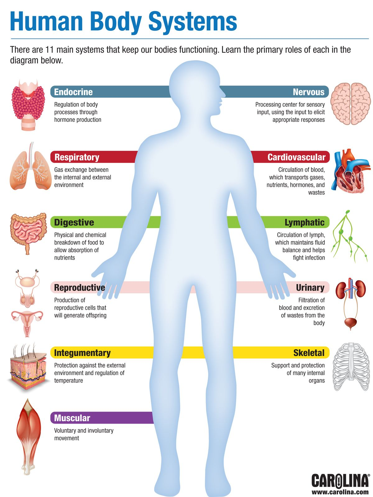Infographic - Human Body Systems