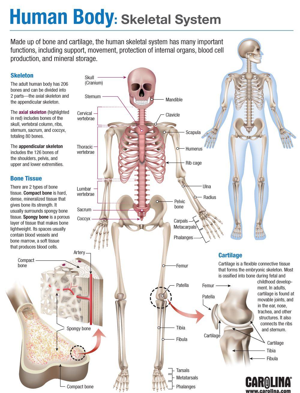 Human Skeletal System Dinocrofo