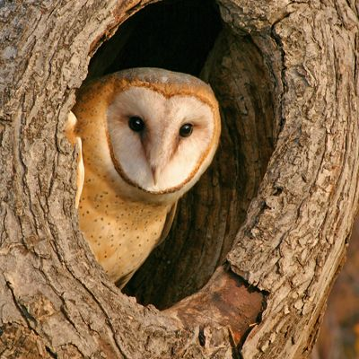 Barn owl food pyramid investigation for Food bar owl