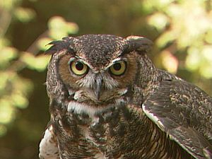 A Great Horned Owl in ...