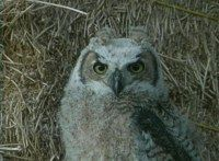 A great horned owlet.