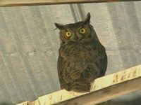 A Great Horned Owl in a Barn