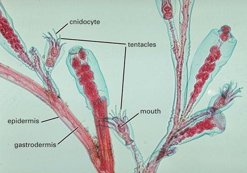 Grantia Longitudinal Section
